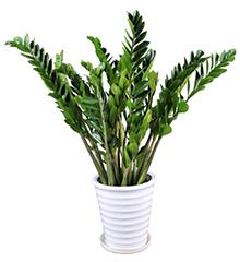 金钱树:金钱树一盆绿植盆栽