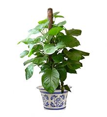 大叶绿萝:绿萝高1.5米高盆栽