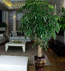 幸福树盆栽:办公室花卉室内植物
