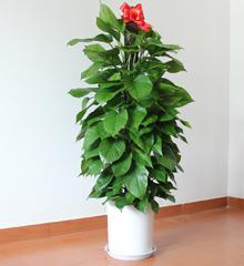 大绿萝盆栽:室内大型植物办公室盆栽