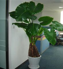 滴水观音:绿色观叶植物