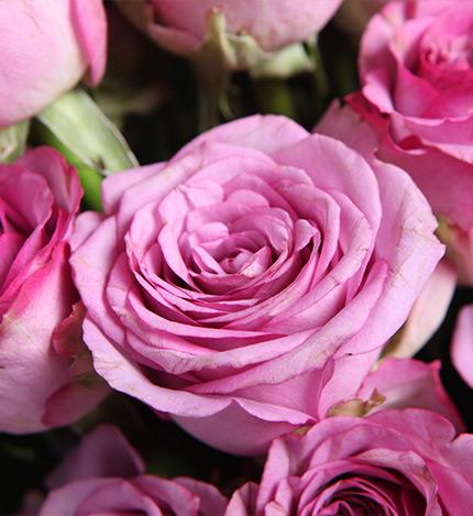 紫对你有感觉:紫玫瑰19枝,红色小雏菊4枝